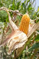 Maize in Bangladesh at most Third important cereal after rice and wheat. New crop: 3100 ha in 1900, 10000 ha in 1995, 202000 ha in 2009-2010. Mostly g...