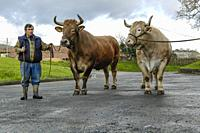 Basque Ox, Basque country, Spain. The Basque ox represents the elitist particularity within the culture of meat in the Basque Country, which is not fo...