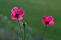 Poppy (Papaver argemone). Spain.