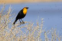Yellow-headed blackbird (Xanthocephalus xanthocephalus), Summer Lake Wildlife Area, Oregon Outback Scenic Byway, Oregon.