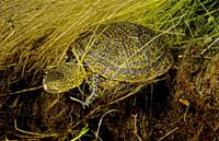 Freshwater Rivers. European pond turtle (Emys orbicularis). Rio Avia. Galicia. Spain. Europe.