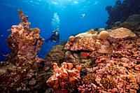 Female scuba diver swims next to a beautiful coral reef and looks at flocks of tropical fish.