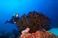 Female scuba diver looks at soft coral - Black Sun Coral (Tubastraea micranthus).