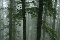 Forest trunks in fog, Cape Lookout State Park, Oregon.