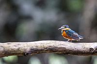 Adult American Pygmy Kingfisher, Chloroceryle aenea, Nauta Caño, Upper Amazon River Basin, Loreto, Peru.