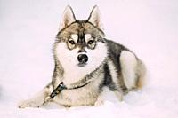 Husky Puppy Dog Sit In Snow. Winter Season. Dog Looking At Camera.