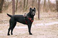 Black Young Cane Corso Puppy Dog Outdoors. Big dog breeds.