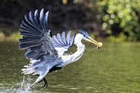 An adult cocoi heron, Ardea cocoi, fishing. Pousado Rio Claro, Mato Grosso, Brazil.