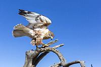Trained captive ferruginous hawk, Buteo regalis, Arizona Sonora Desert Museum, Tucson, Arizona, USA.