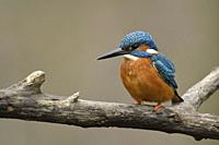 Eurasian Kingfisher ( Alcedo atthis ), male, black beak, orange breast, colourful, perched on a branch, detailled frontal view, wildlife, Europe.