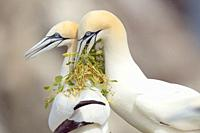Atlantic gannet made present grass for the nest at female in Saltee Island, Ireland