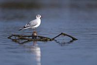 Black headed gull posed on a trunk in Deltebre, Catalonia, Spain