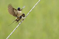 Barn swallow copulating in Aiguamolls de l´emporda natural park, Catalonia, Spain