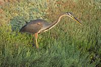 Purple Heron hunting on Deltebre, catalonia.