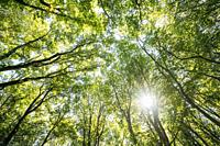 Looking Up In Summer Deciduous Forest Trees Woods To Canopy. Bottom View Wide Angle Background. Sun Shining Through Greenery Foliage In Green Forest.