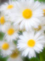 white daisy photographed with monocle.
