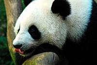 A panda eyes a treat and licks his lips.