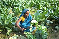 A farmer truncating Cauliflower leafs at Manikgonj, Bangladesh.