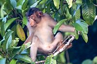 Short-tailed macaque browsing in forest beside the Kinabatangan River, Sabah, Malaysian Borneo.