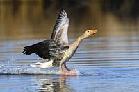 Greylag Goose, Anser anser, when landing.