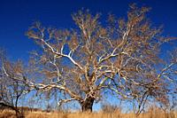 A sycamore tree grows along Gardner Canyon Road, Sonoita, Arizona, USA.