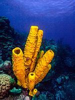 Aplysina fistularis los roques - venezuela Yellow Tube Sponge.