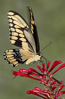 Clos, pretty, beautiful, pretty, beautiful, eup of Giant Swallowtai ( Papilio crespbontes ) butterfly on red flower.