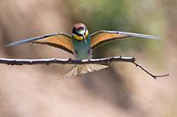 Eurasian bee-eater in a sandpit near gerolsheim in palatia.