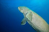 Dugong or Sea Cow (Dugong dugon) rises to the surface. Red Sea, Hermes Bay, Marsa Alam, Egypt, Africa