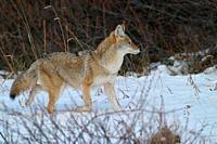 Coyote running. Along Kananaskis Trail (Hwy 49) in Kananaskis Country, Alberta,Canada.