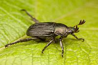 A dark form of the Oriental Beetle (Exomala orientalis) on a leaf.