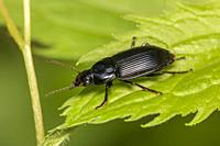 A Woodland Ground Beetle (Pterostichus sp. ) perches on a leaf.