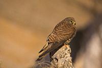 Lesser Kestrel (Falco naumanni). Perched on a stone. Photographed in Villacañas, Castilla la Mancha, Spain.