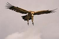 Griffon Vulture &lt, (Gyps fulvus). With wings open to perch on the ground, photographed in the Sierra del Guadarrama. Madrid, Spain.