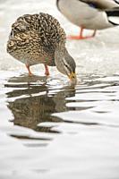 Mallard (Anas platyrhynchos) Hen, Fielding Park Sanctuary, Greater Sudbury, Ontario, Canada.