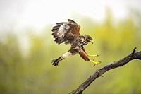 Harris' hawk (Parabuteo unicinctus), Santa Clara Ranch, Starr County, Texas, USA.