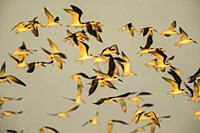 Black skimmer (Rynchops niger), Goose Island State Park, Texas, USA.