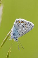 Common Blue, Polyommatus icarus.