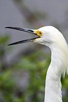 Snowy egret (Egretta thula), Anahuac NWR, Texas, USA.