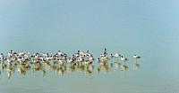 Long-legged Avocetssweep their long, thin, upcurved bills from side to side when feeding in brackish or saline wetlands. Plumage is pied, also with re...