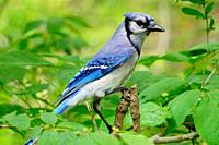 A bluejay, Cyanocitta cristata, looking around from a branch, Pennsylvania, USA.