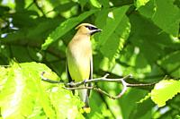 A cedar waxwing, bombycilla cedrorum, looking sideways, Pennsylvania, USA.