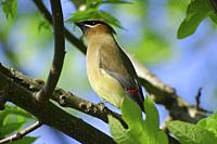 A cedar waxwing, Bombycilla cedrorum, looking skyward, Pennsylvania, USA.