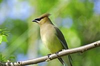 A perched cedar waxwing, bombycilla cedrorum ,Pennsylvania, USA.