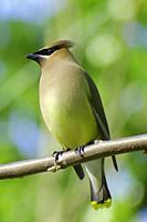 A vertical rendition of a perched cedar waxwing, bombycilla cedrorum, Pennsylvania, USA.