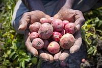 Labors are carrying harvested fresh potatoes in field near of Kahalu at Bogra district, Bangladesh.