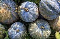 The Arial Beel (water body) of Munshiganj is famous for producing special kind of big-sized of sweet pumpkins; the local growers are making a huge pro...