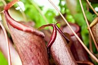 A close-up of a carnivorous pitcher plant.