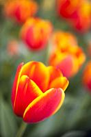 Close-up of a a variegated orange and yellow tulip in a garden in the springtime.