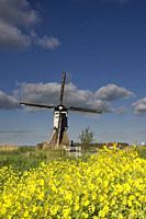 Flowering rapeseed in front of the Broekmolen windmill near Streefkerk in the Dutch region Alblasserwaard.